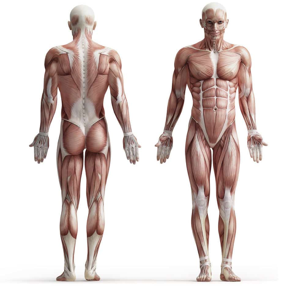 Exercices musculation anatomie